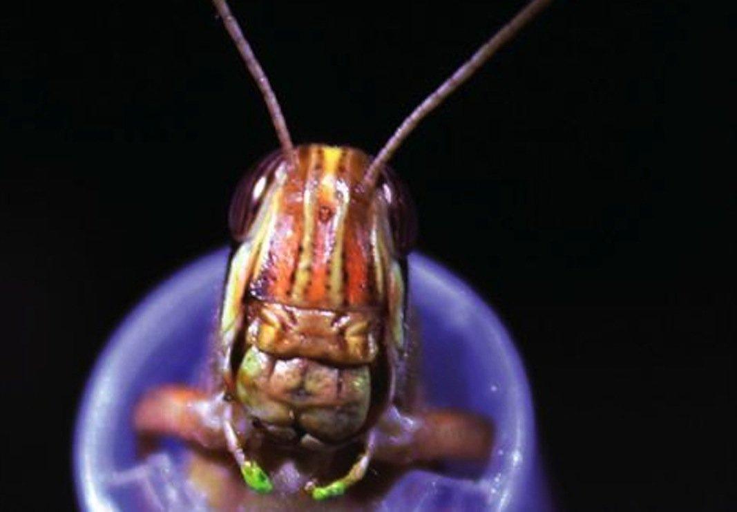 Die Forscher kapern das Gehirn der Heuschrecken mit Elektroden. So lassen sich Gerüche speichern, die die Tiere mit ihren Antennen wahrnehmen.