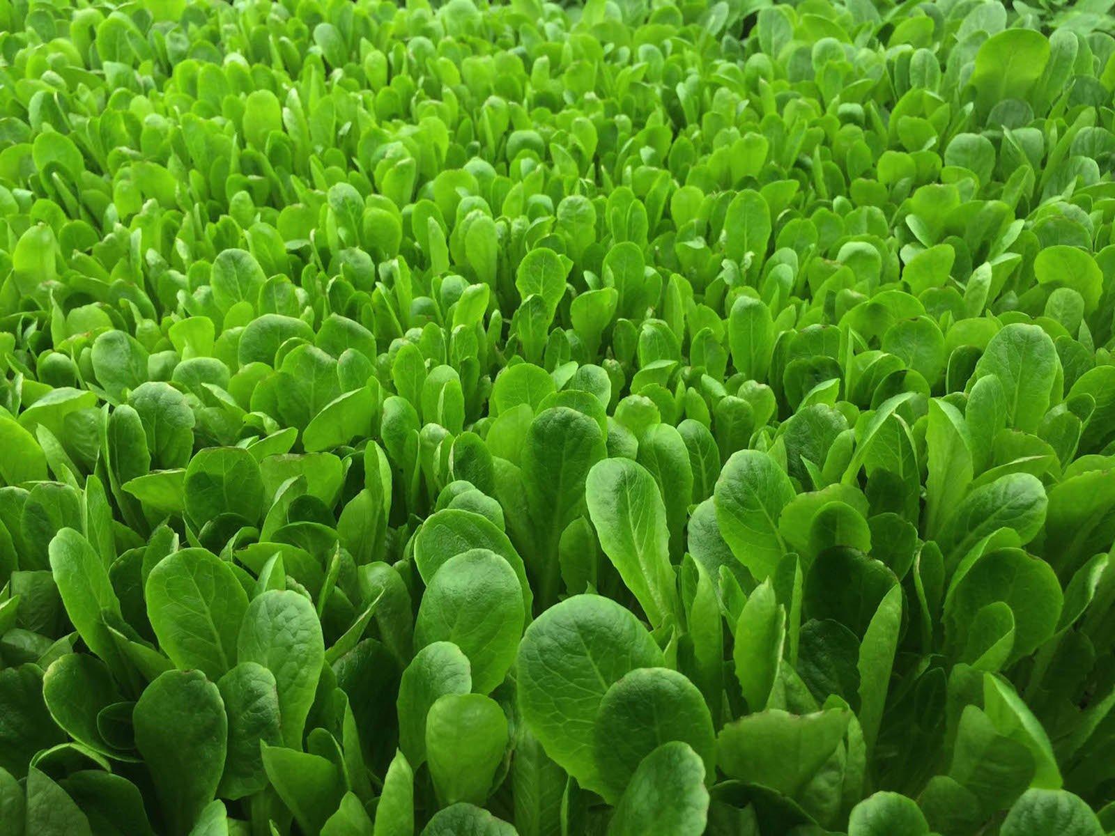 Sieht lecker aus, der Römersalat auf der Homepage von AeroFarms. LautMarc Oshima, Mitgründer und Marketingchef des Unternehmen, dauert es gerade mal 12 bis 16 Tage, bis die Pflanzen erntereif sind. Auf dem Feld sind 30 bis 45 Tage nötig.