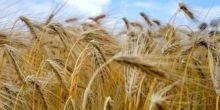 6.000 Jahre alte Gerstenkörner: Wir essen fast das gleiche Korn wie die Steinzeitmenschen