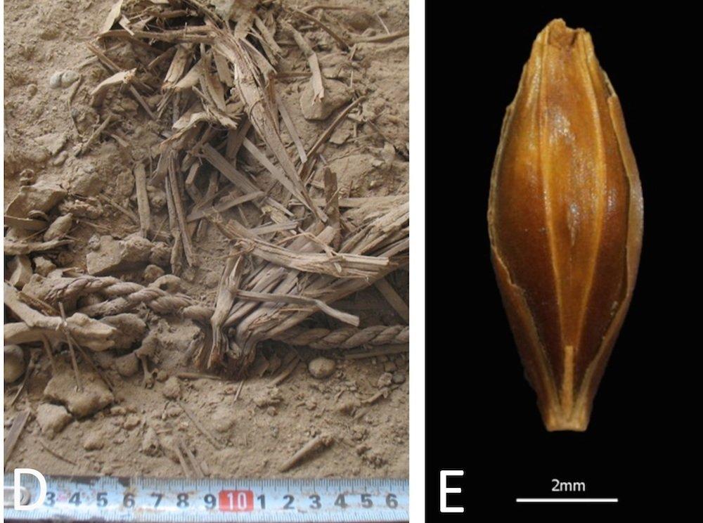 Aufnahme eines in der Yoram-Höhle gefundenen Gerstenkorns (re.):Dank der extremen Trockenheit der judäischen Wüste ist pflanzliches Material außerordentlich gut erhalten.