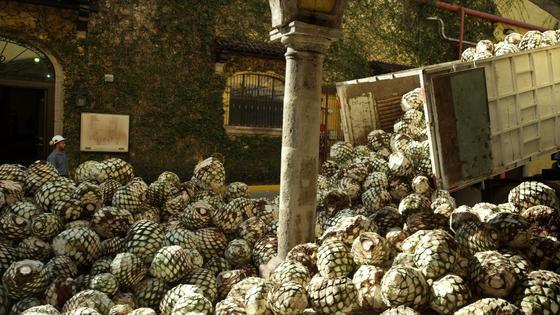 Verarbeitung von Agaven zu Tequila: Die Fasern der Agave wurden nach der Tequila-Herstellung bislang kaum genutzt. Jetzt will Ford Kabelbäume und Verkleidungen im Fahrzeuginneren aus Agaven hergestellen.