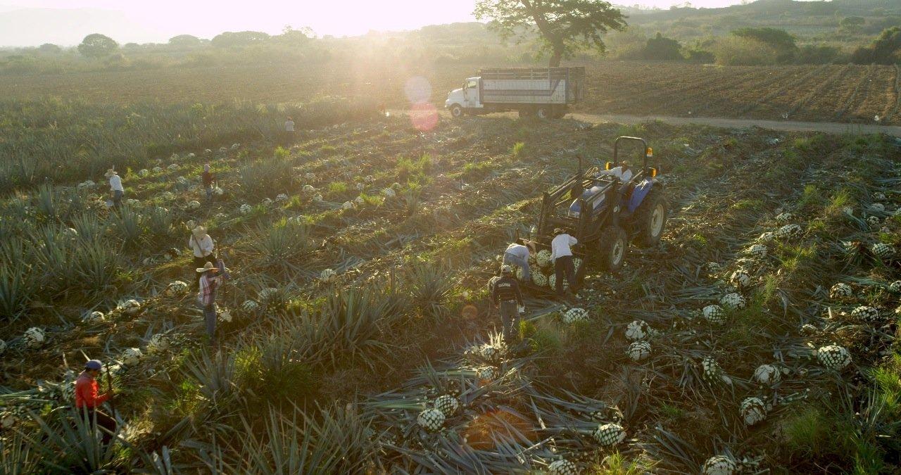 Agavenernte in Mexiko für den Tequila-Hersteller Jose Cuervo: Werden die Blätter der Agave abgeschlagen, bleibt der Stamm übrig,Cabeza oder Piña genannt. Er enthält den dicken, süßen Agavensaft, aus dem auch Tequila gewonnen wird. Aus den Abfallstoffen der Tequila-Produktion will Ford nun Kunststoffe herstellen, um sie im Innenraum von Ford-Modellen einzusetzen.