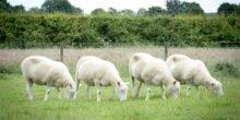 Auch geklonte Schafe können gesund alt werden