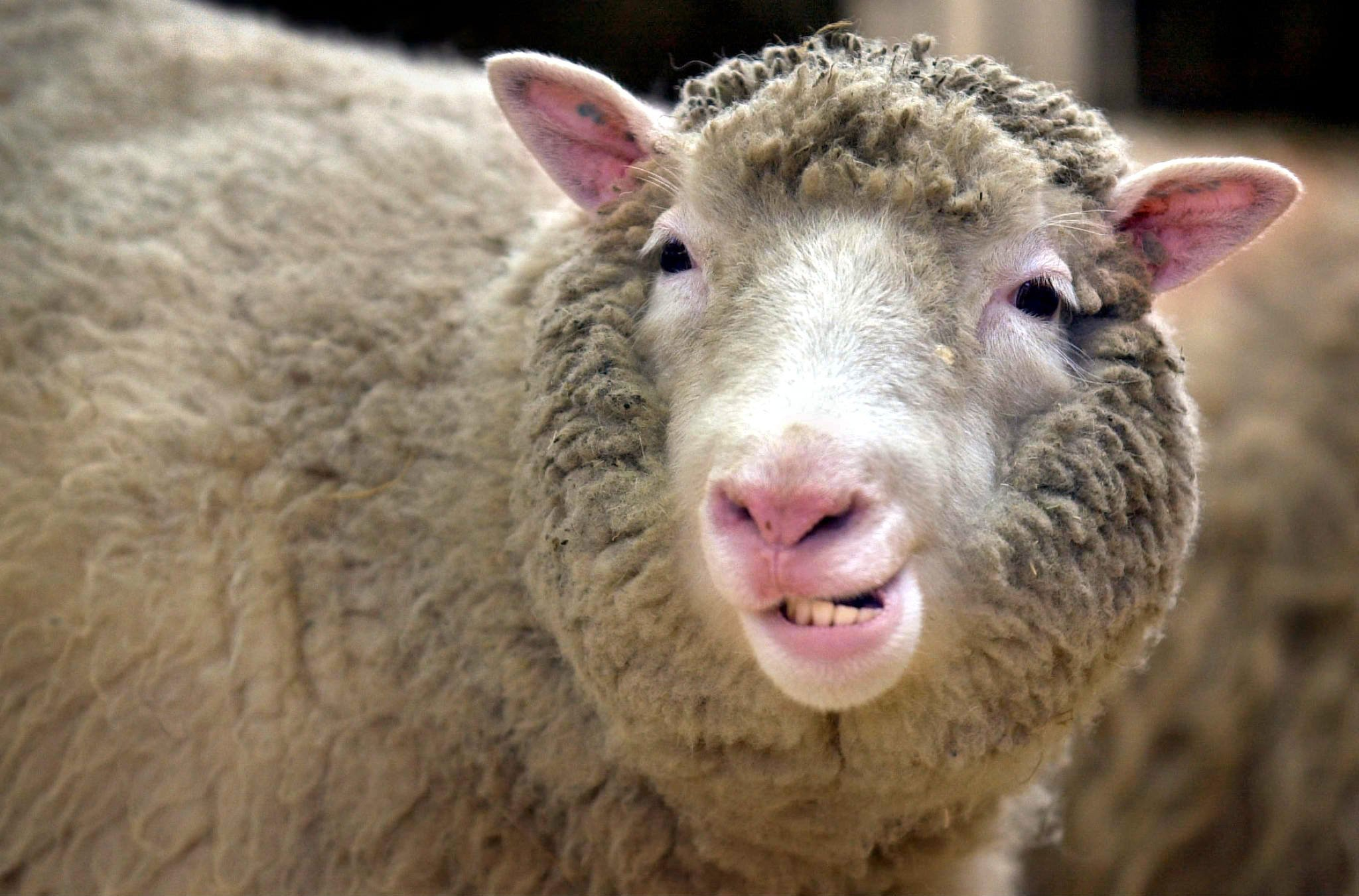 Klonschaf Dolly: Der 5. Juli 1996 gilt vielen Forschern als der Beginn des Klonzeitalters. An diesem Tag wurde in einem Stall in Schottland ein Schaf geboren, das in die Geschichtsbücher eingehen sollte: Dolly – der erste Klon eines erwachsenen Säugetiers. Doch Dolly kränkelte, hatte ein für Schafe relativ kurzes Leben und starb vor 13 Jahren am 14. Februar 2003. Heute steht das Schaf ausgestopft in einer Glasvitrine im Royal Museum in Edinburgh.