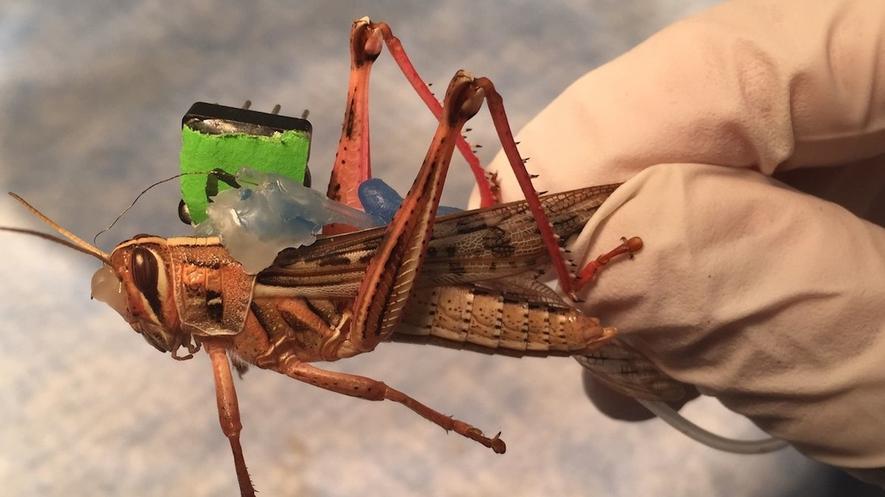 Diese Cyber-Heuschrecke geht zukünftig auf Sprengstoffsuche. Eine Elektrode im Gehirn speichert die Gerüche, die das Tier mit seinen empfindlichen Antennen wahrnimmt.