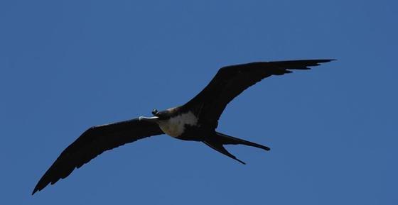 Dieser Fregattvogel ist mit einem Sensorsystem ausgestattet. Die Messungen zeigen: Die Vögel schlafen während langer Flugstrecken durchschnittlich 42 Minuten pro Tag.