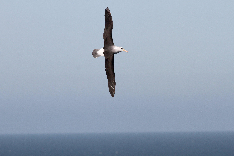 Ein seltener Schwarzbrauenalbatros (Diomedea melanophris) fliegt über der Küste von Helgoland (Schleswig-Holstein). Warum Schlafmangel den Langzeitflug der Vögel nicht beeinträchtigt, ist für die Forscher bislang ein Mysterium.