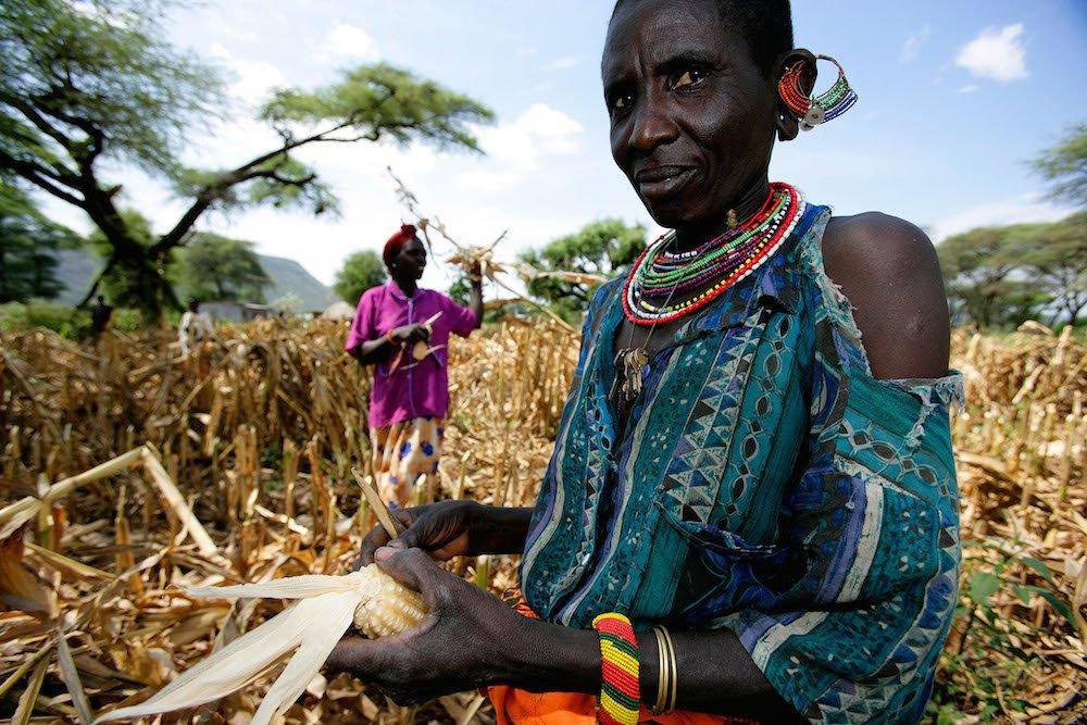 Verluste bei der Maisernte in Kenia.