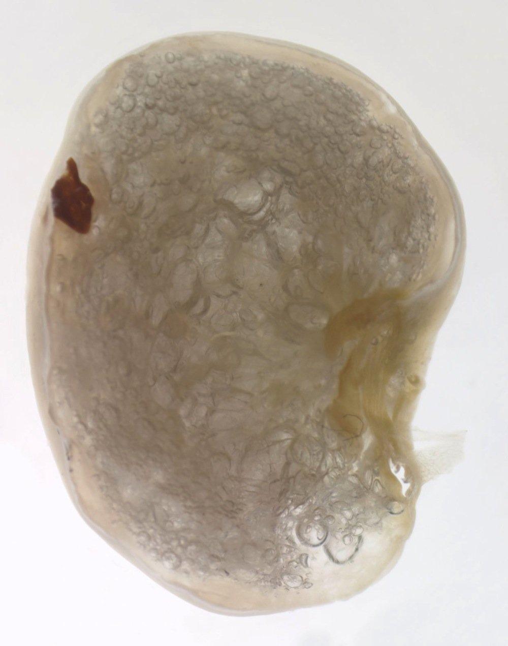 Querschnitt durch ein Zementfloß, mit einem Stück Alge (dunkler Punkt), an dem sich das Tier festgesetzt hat.