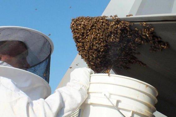Artenschutz: Der Imker Andy Westrich saugt die 20.000 Honigbienen, die sich auf einem F-22 niedergelassen haben, mit einem Vakuumschlauch ab.