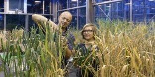 Auch für Biobauern: Neuer Weizen wehrt sich gegen schlimmsten Schädling