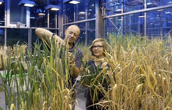 Professor Panstruga und Mitarbeiterin Anja Reinstädler untersuchen Weizen im Gewächshaus.