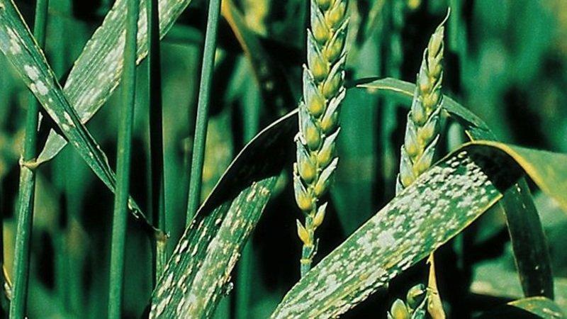 Von Echtem Mehltau befallener Weizen.