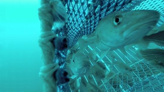 Dorsche im Netz. Im Hintergrund sind die Gitterstäbe zu sehen, die große Tiere zum Fluchfenster leiten.