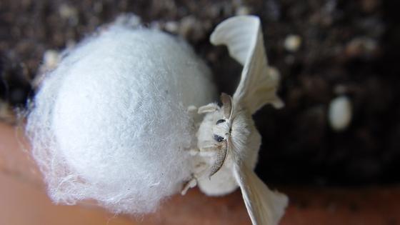 Der Seidenspinner oder Maulbeerspinner (Bombyx mori).