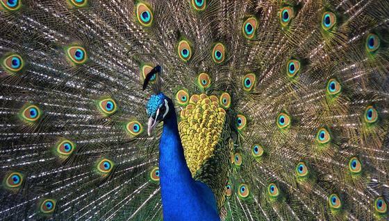 Blauer Pfau präsentiert sein farbenprächtiges Rad: Ein Beispiel für die dynamischen Farbeffekte der Natur.