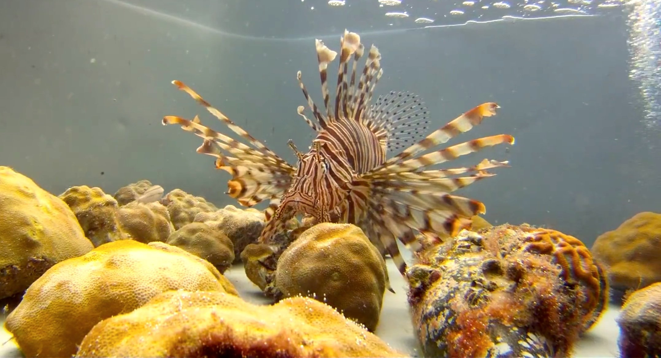Rotfeuerfisch im Aquarium: Die Fische sollen aus Aquarien entwischt sein und haben sich inzwischen im Atlantik verbreitet, wo sie keine natürlichen Feinde haben.
