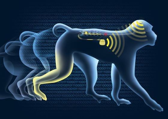 Das Hirnimplantat zeichnet Bewegungsimpulse im Gehirn auf und schickt sie kabellos an einen Computer. Dieser erstellt ein Simulationsprotokoll und schickt es an einen Taktgeber, der über 16 Elektroden die Beinmuskeln des Affen bewegt.