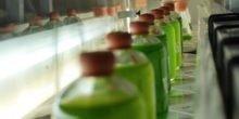 Diese Mikroalgen produzieren fleißig Wasserstoff