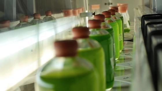 Diese Mikroalgen sind Wasserstoffproduzenten: Israelische Forscher haben Algen so verändert, dass sie deutlich mehr Wasserstoff produzieren als bisher. Ihr Ziel ist eine industrielle Herstellung von Wasserstoff durch Mikroalgen.