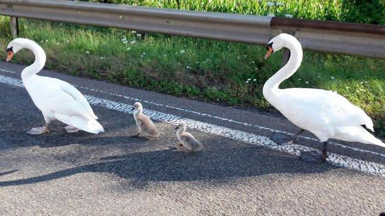 Schwanenfamilie auf der Autobahn: in Deutschland gibt es fast keine Flächen mehr, die mehr als einen Kilometer von Verkehrswegen entfernt liegen. So kommt es, dass die Landfläche der Erde in 600.000 Stücke zerteilt ist.