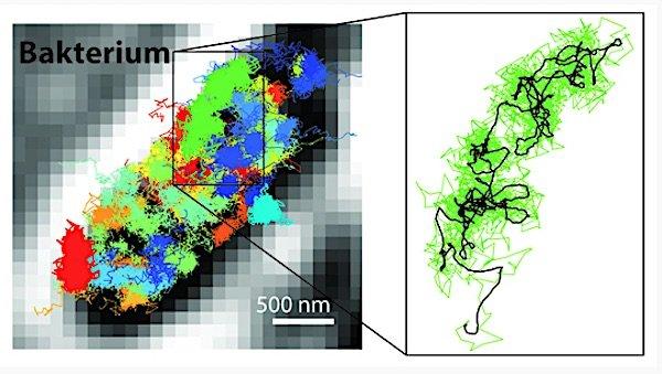 Mit MinFlux lassen sich Bewegungen zeitlich genauer verfolgen als mit der Sted- oder Palm/Storm-Mikroskopie. Dadurch ist es möglich, sehr viel schnellere Bewegungen einzelner fluoreszenzmarkierter Moleküle in einer lebenden Zelle sichtbar zu machen. Links: Bewegungsmuster von 30S-Ribosomen (Bestandteile von Proteinfabriken, farbig) im Bakterium E. coli (schwarz-weiß). Rechts: Bewegungsmuster eines einzelnen 30S-Ribosoms (grün) vergrößert dargestellt.