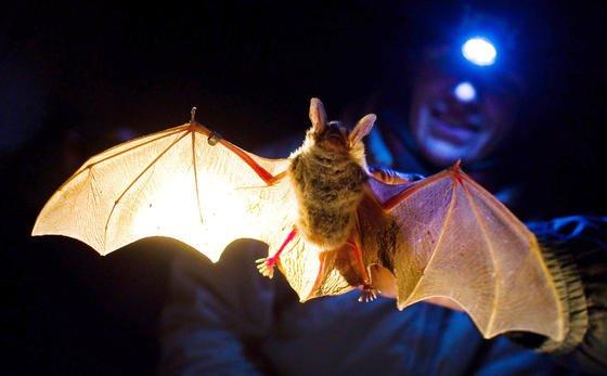 Wenn´s ums Fliegen geht, macht der Fledermaus so schnell niemand etwas nach. US-Forschern ist es jetzt gelungen, einen Flugroboter zu entwickeln, der wie sein Vorbild Sturzflüge beherrscht und auch enge Kurven nehmen kann.