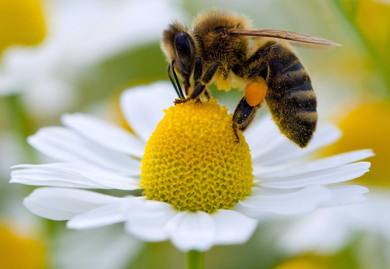 Eine echte Biene sammelt auf einer Kamillenblüte Pollen, die sie zum Transport an ihren Hinterbeinen befestigt.