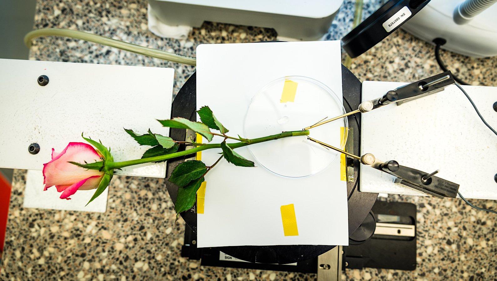 Im Versuch konnte die Cyborg-Rose Hunderte Male geladen und entladen werden. Ohne Leistungsverlust.