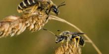 Deutsche Wissenschaftler wollen Bienensterben stoppen