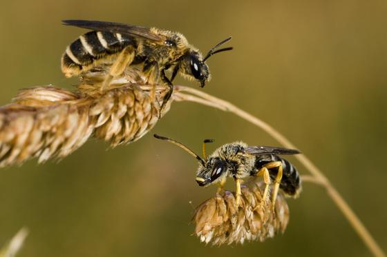 In Deutschland gibt es 561 Wildbienenarten, die Hälfte steht auf der Roten Liste.