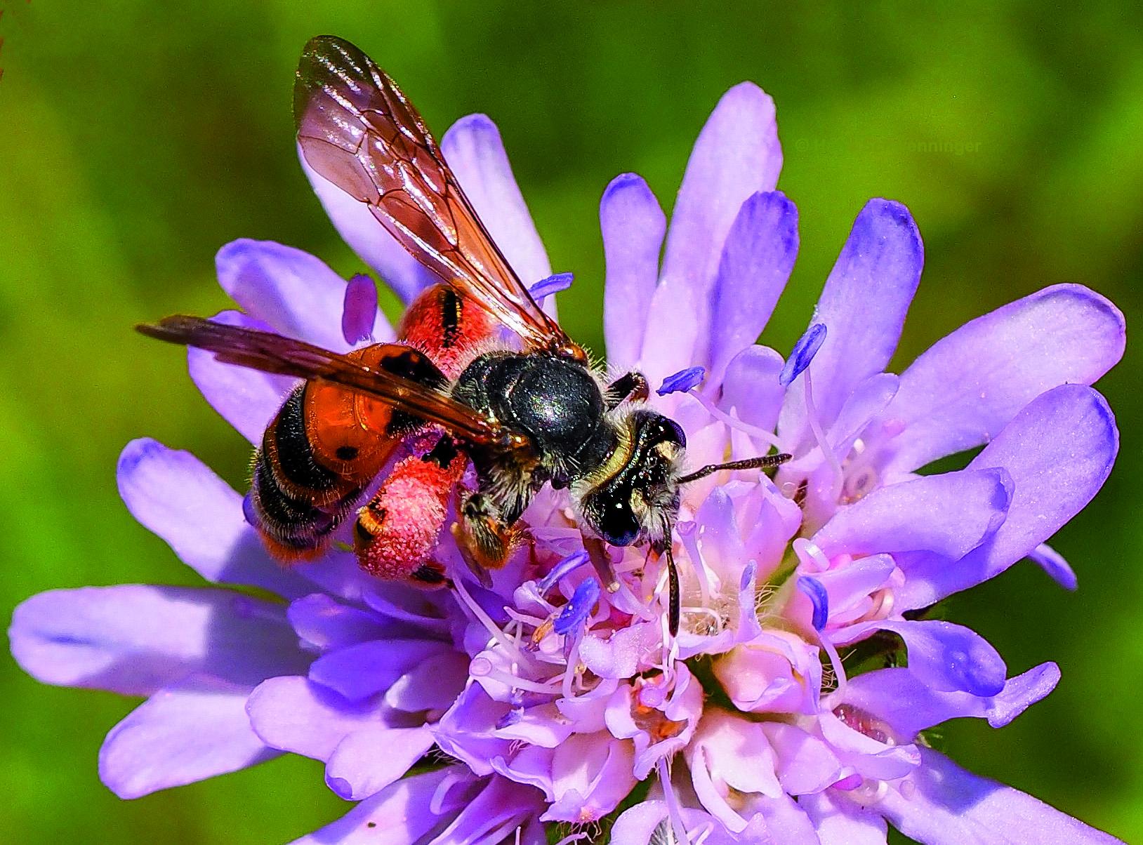 Für den Anfang können Sie sich schon einmal mit der Wildbiene des Jahres 2017 vertraut machen: die Knautien-Sandbiene, deren Weibchen rote Pollenhosen tragen.