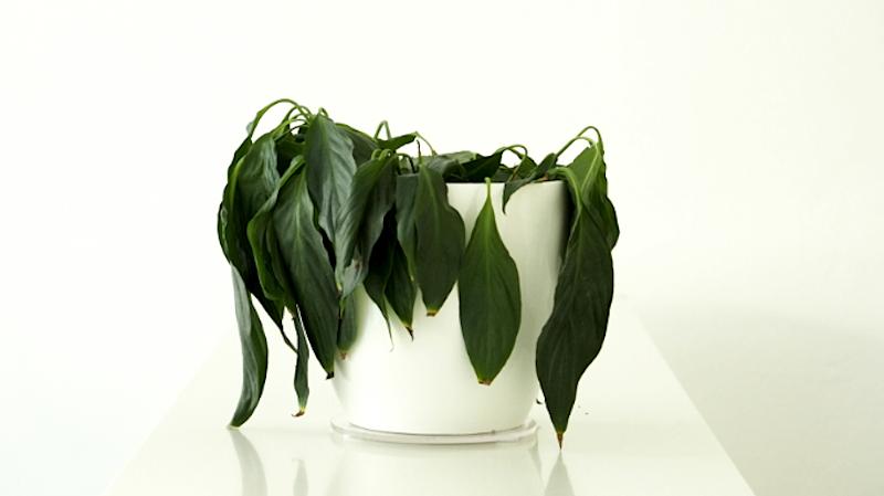 Für diese Pflanze kommt jede Hilfe zu spät.