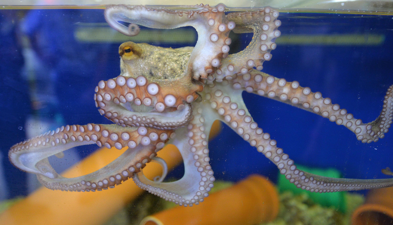 Kraken sind Meister der Tarnung. Sie passen ihre Form ihrer Umgebung an. Davon inspiriert haben Forscher ein neues Material entwickelt. Es könnte bei der Tierbeobachtung helfen – aber auch demMilitär.