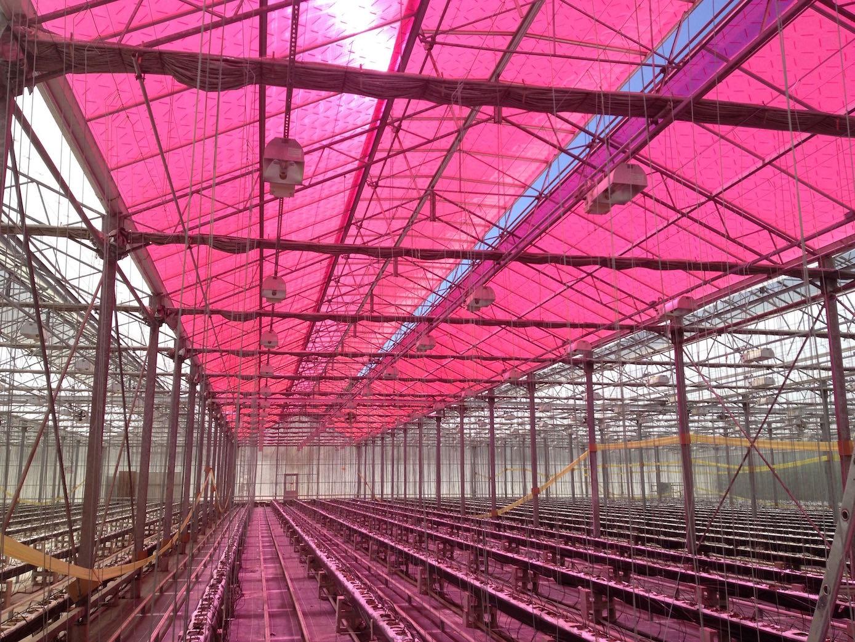 Obwohl es unter den magentafarbenen Tafeln im Vergleich zu einem klassischen Gewächshaus dunkler ist, wachsen die Nutzpflanzen gut, zum Teil sogar besser als in normalen Gewächshäusern.