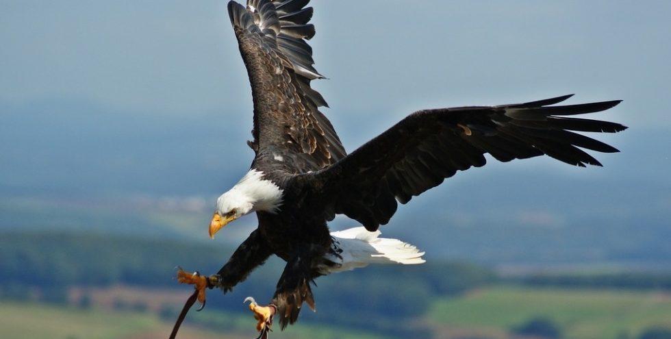 Zu oft töten Seeadler Lämmer auf schottischen Weiden. Ein Laserschutzschild soll die Raubvögel künftig von den Jungtieren fernhalten.