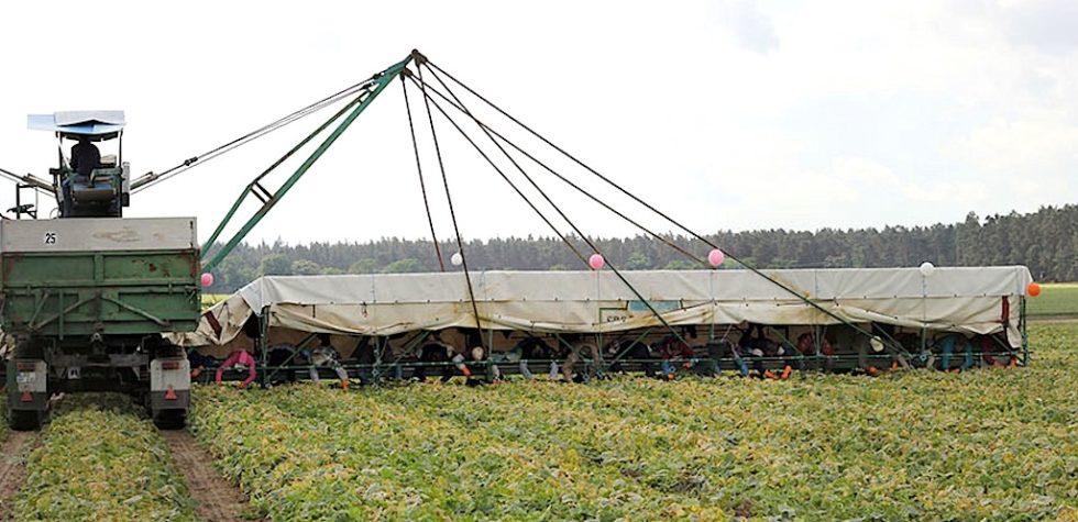 Gurkenflieger werden die landwirtschaftlichen Fahrzeuge genannt, auf denen Erntehelfer auf dem Bauch liegend die Früchte ernten. Diese Knochenarbeit sollen Leichtroboter übernehmen.