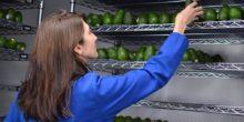 Essbare Hülle hält Avocados viel länger frisch