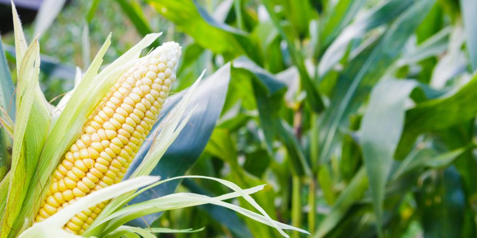 Maiskolben im Feld