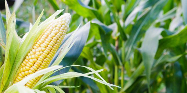 Man sieht verschiedene Maispflanzen; im Vordergrund ist ein Maiskolben zu sehen.