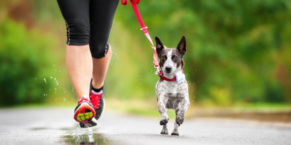 Woman and dog jogging. Dog wears a measuring device on his neck