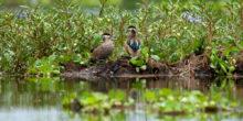 Ein Vogelpaar sitzt umringt von Grünpflanzen auf einem See in Kenia