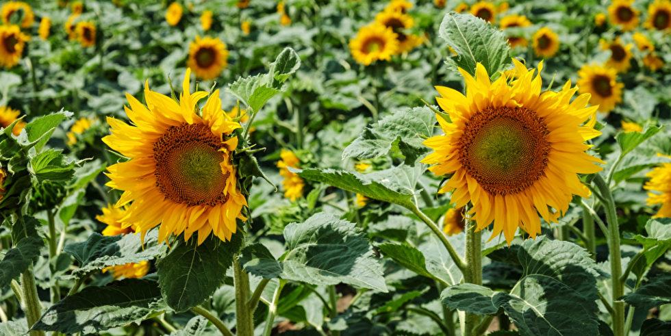 Man sieht eine Vielzahl von Sonnenblumen.