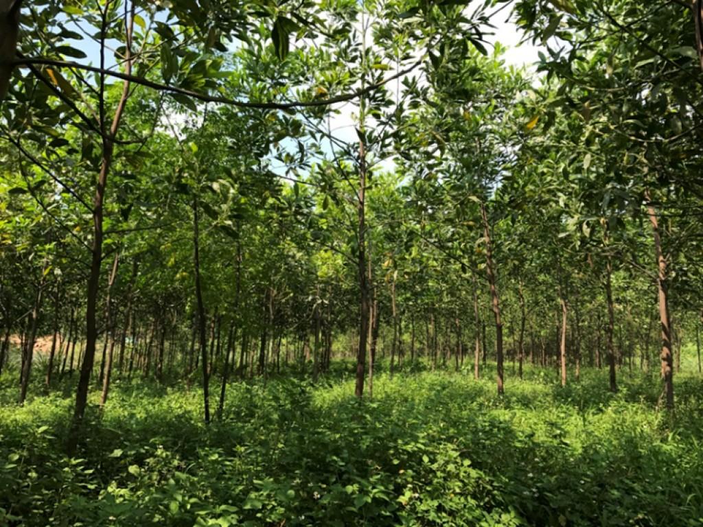 Akazien zwei Jahre nach der Pflanzung im Sommer 2018 auf der Pilotfläche Nui Phao in Nordvietnam. Bild: UfU