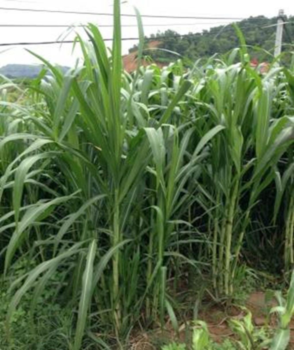 Gras VA06, eine vietnamesische Züchtung, auf dem Standort Nui Phao vier Monate nach der Pflanzung. Bild: UfU