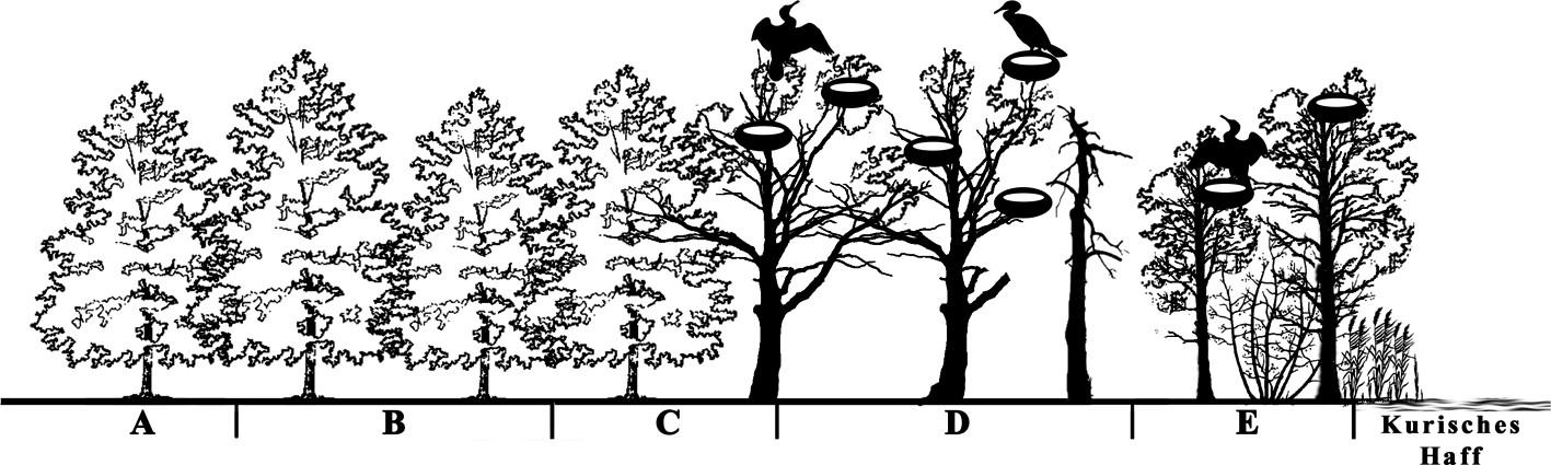 Bild 3. Untersuchte Gebiete: A und B – Referenzgebiete; C – an der Grenze zur Kolonie; D – Hauptsiedlungsort der Kormorankolonie; E – Küstenabschnitt mit Bäumen, die vor Kurzem von Kormoranen bewohnt waren. Quelle: Immanuel Kant Baltic Federal University/ TH Gießen