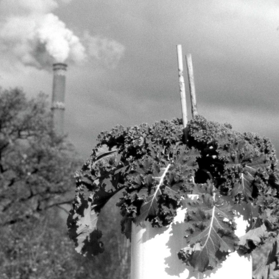 Biomonitoring-Untersuchung mit Grünkohl.Bild: VDI