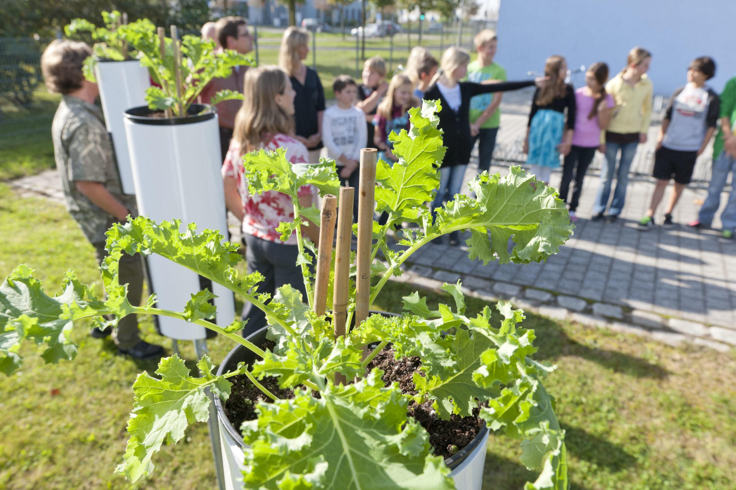 Bild 2. Grünkohlexposition am Messpunkt MP9 Siedlung Schönefeld an einer Grundschule.  Bild: Günter Wicker