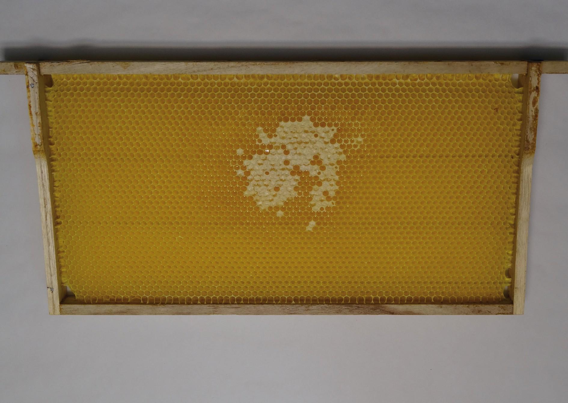 Bild 4. Waben, in die die Bienen wie hier Honig oder Pollen einlagern, bauen sie in der Regel auf vorgefertigte Wachsmittelwände in vom Imker eingehängten Rahmen auf.  Bild: Monica Wäber