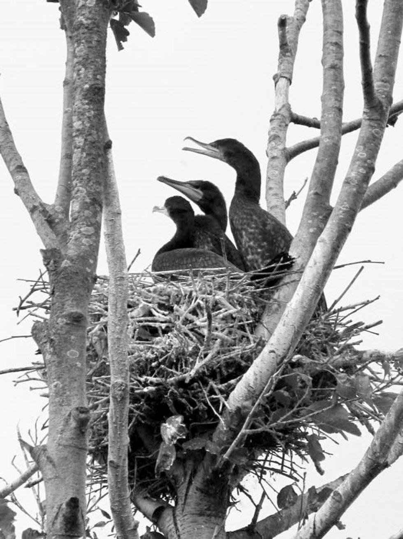 Bild 1. Nest des Kormorans auf einer Erle. Quelle: Immanuel Kant Baltic Federal University/ TH Gießen